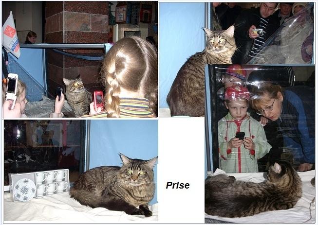 mainecoon kittens